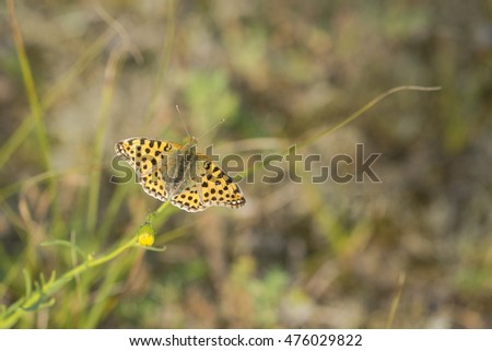 Queen of Spain Fritillary (Issoria lathonia) butterfly resting on a plant