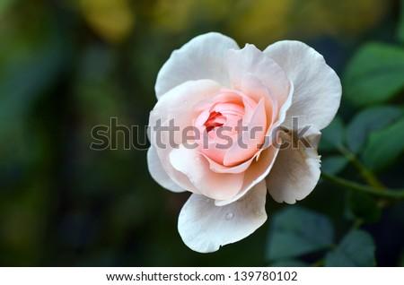 Queen of Sweden Rose Blooming in Garden - stock photo
