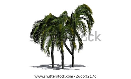 queen palm cluster - isolated on white background