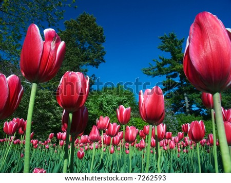 Queen Victoria Tulips at the National Capital Tulip Festival - stock photo
