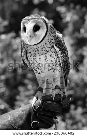 QUEENSLAND, AUS - NOV 04 2014:Australian masked owl.The Australian masked owl population on the mainland is declining and several states have this owl on the Species Conservation Status list. - stock photo