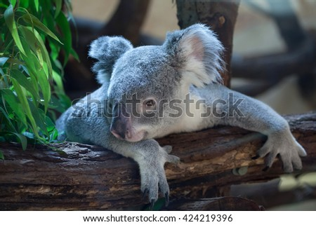 Queensland koala (Phascolarctos cinereus adustus). Wild life animal.  - stock photo