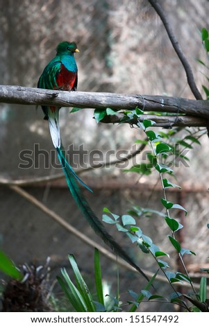 Quetzals are strikingly colored birds in the trogon family. They are found in forests and woodlands, especially in humid highlands. - stock photo