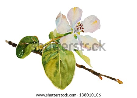 quince blossom twig with flower and leaves watercolor illustration - stock photo