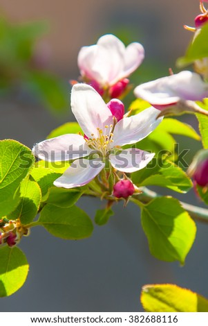 quince tree in bloom white flowers green leaves. shallow depth of field - stock photo