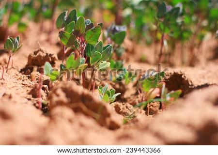 quinoa plant peruvian kinwa goosefoot - stock photo