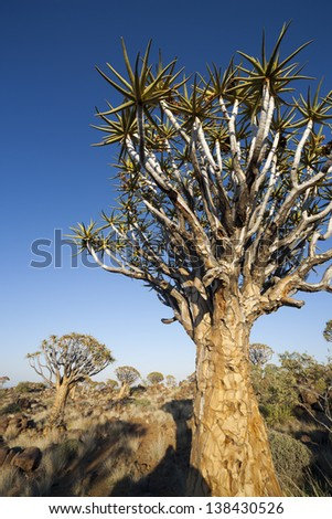 Quiver (kokerboom) tree forest. Namibia. Fantastic landscapes of Africa. - stock photo