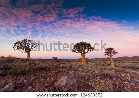 quiver tree' at dawn - stock photo