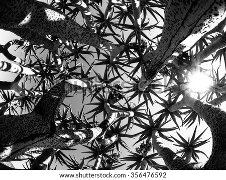 Quiver tree bottom view against sky on sunny day, Keetmashoop, Namibia. Black and white image. - stock photo