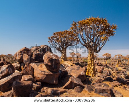 Quiver tree forest in sunny day with blue sky, Namibia