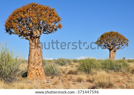 Quiver tree forest landscape, Namibia - stock photo