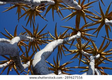Quiver Tree, Keetmanshoop, Namibia - stock photo