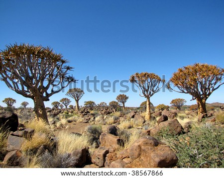 Quiver tree (Kokerboom) Forest in Namibia - stock photo