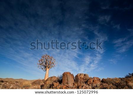 quiver trees - stock photo