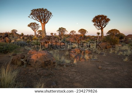 Quivertree Forest at Sunset. Keetmanshoop, Namibia - stock photo