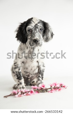 Quizzically puppy dog of setter celebrates spring with twig of peach and pink flowers - stock photo