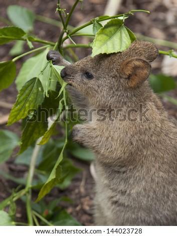 Quokka Eating