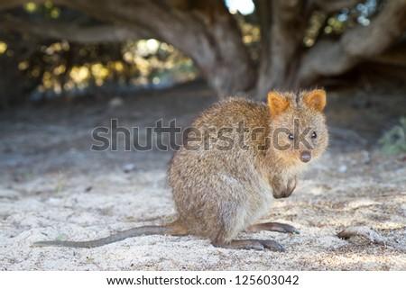 Quokka (Setonix brachyurus) on Rottnest Island, Western Australia - stock photo