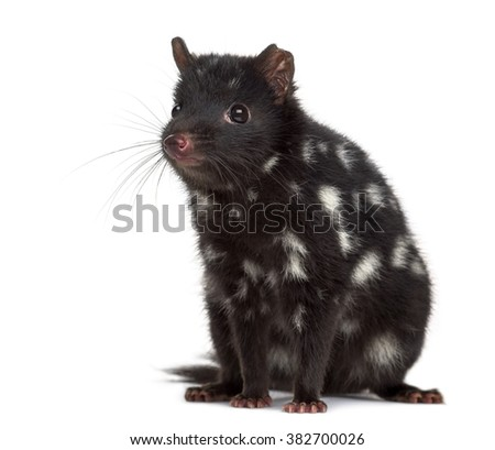 Quoll sitting isolated on white (3 years old)