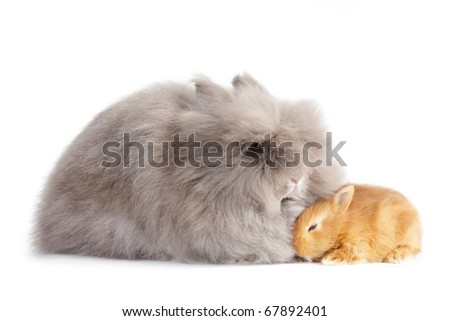 Rabbit angora breed, with other breed baby, isolated on white background.