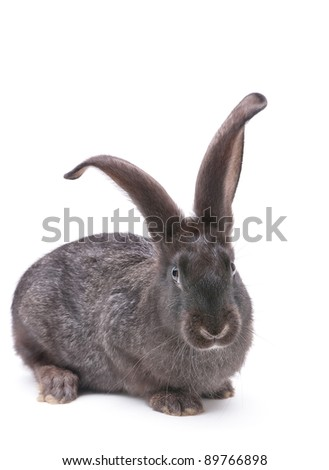 Rabbit farm animal closeup on white background - stock photo
