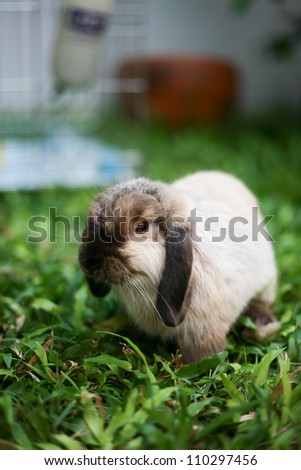 Rabbit Holland lop