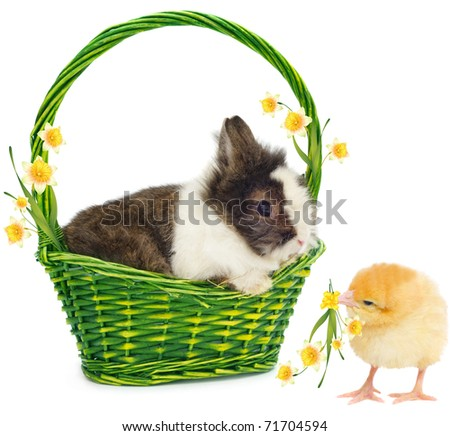 rabbit in green basket and chicken with yellow narcissus on white background - stock photo
