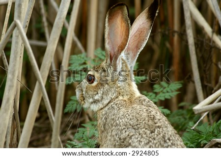 rabbit in the brush - stock photo