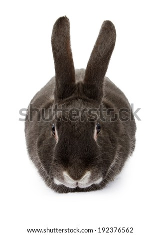 rabbit, isolated, animal, white, background, bunny, studio, one, young, easter, mammal, nobody, fluffy, animals, farm, front, view, close, pet, domestic, rabbits, black, front, forward - stock photo