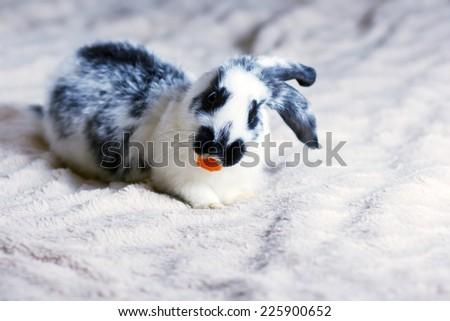Rabbit on a fluffy blanket eats carrots - stock photo