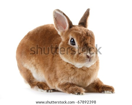 Rabbit Rex breed, isolated on white background.