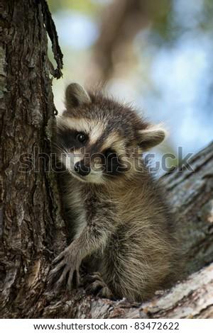 Raccoon Baby - stock photo