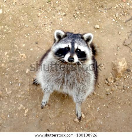 Raccoon background. Raccoon standing. animal background. - stock photo