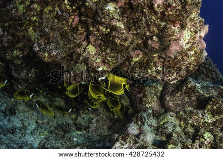 Raccoon butterfly fish swimming under a large coral head