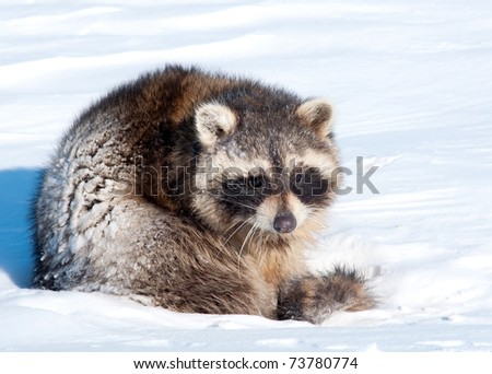 raccoon coming out of hibernation - stock photo