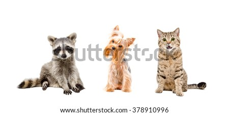 Raccoon, dog and cat isolated on white background - stock photo
