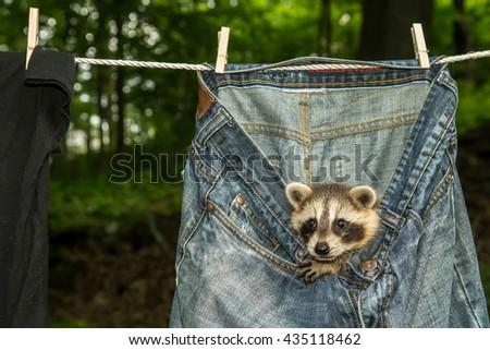Raccoon Hiding in Laundry - stock photo