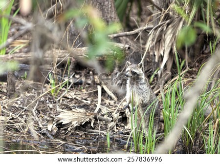 Raccoon in a swamp - stock photo