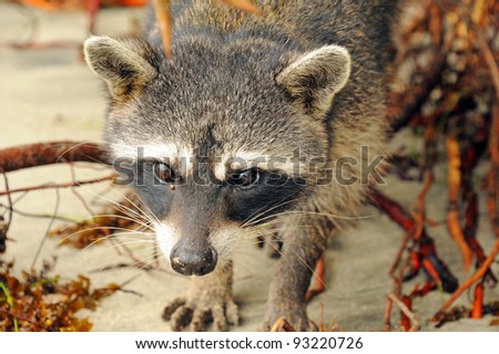 Raccoon in Cahuita National Park, Costa Rica - stock photo