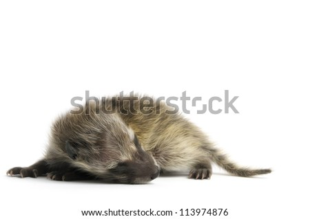 Raccoon in front of a white background. - stock photo