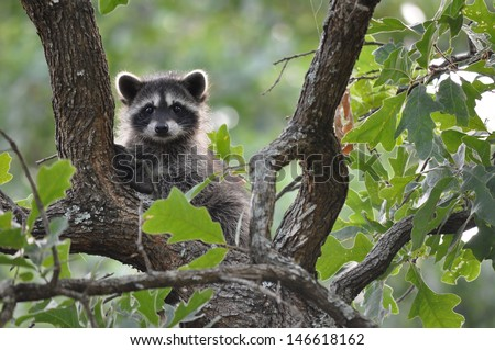 Raccoon Playing in trees - stock photo