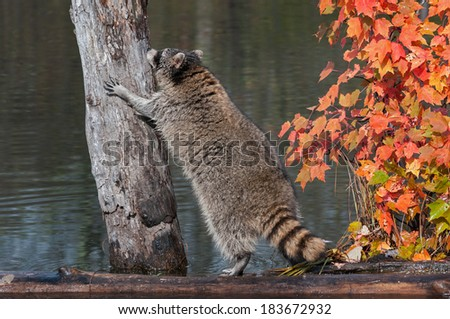 Raccoon (Procyon lotor) Contemplates Climbing up Tree - captive animal - stock photo