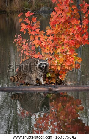 Raccoon (Procyon lotor) Cries Out from Log in Pond - captive animal - stock photo