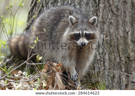 Raccoon (Procyon lotor) in an oak pine forest - Grand Bend, Ontario, Canada - stock photo