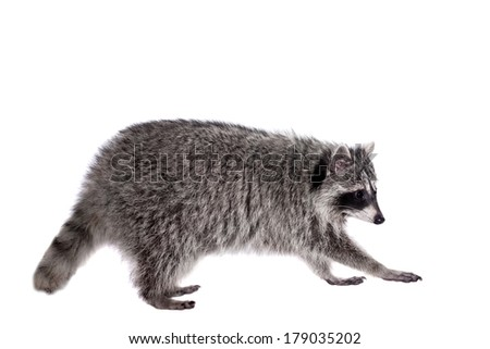 Raccoon - Procyon lotor isolated on the white background - stock photo