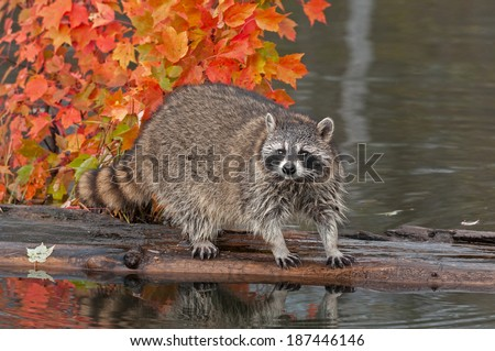 Raccoon (Procyon lotor) Looks Out at Viewer from Log - captive animal - stock photo
