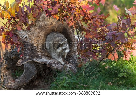 Raccoon (Procyon lotor) Looks Right from Log - captive animal