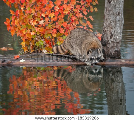 Raccoon (Procyon lotor) Reaches into Water - captive animal - stock photo