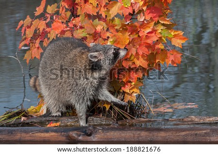 Raccoon (Procyon lotor) Sniffs in Autumn Leaves - captive animal - stock photo