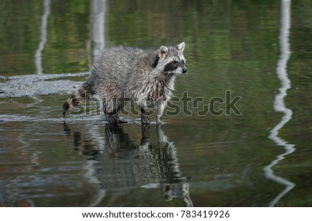 Raccoon (Procyon lotor) Stands in Water - captive animal